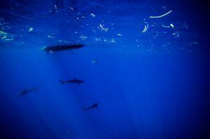 queen gardens, silk sharks