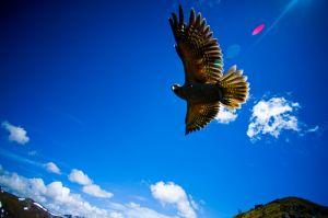 kea parrot/new zealand